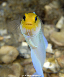 Yellowheaded Jawfish by Suzan Meldonian 